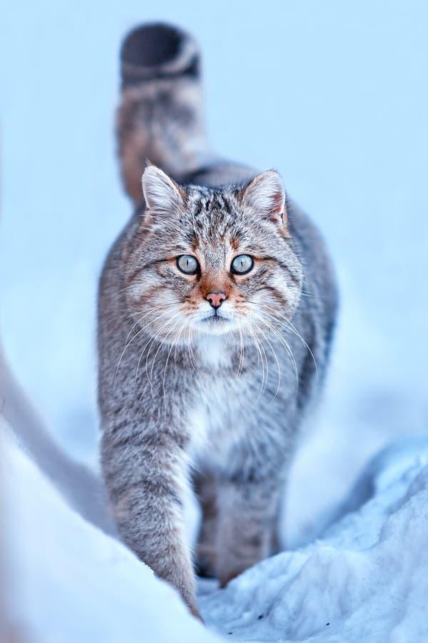Silvestris selvaggi europei del Felis in habitat naturale fotografie stock libere da diritti