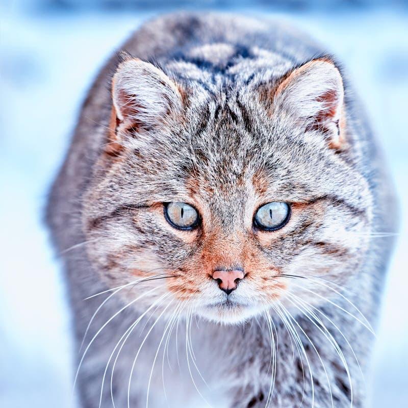 Silvestris selvaggi europei del Felis in habitat naturale immagini stock libere da diritti