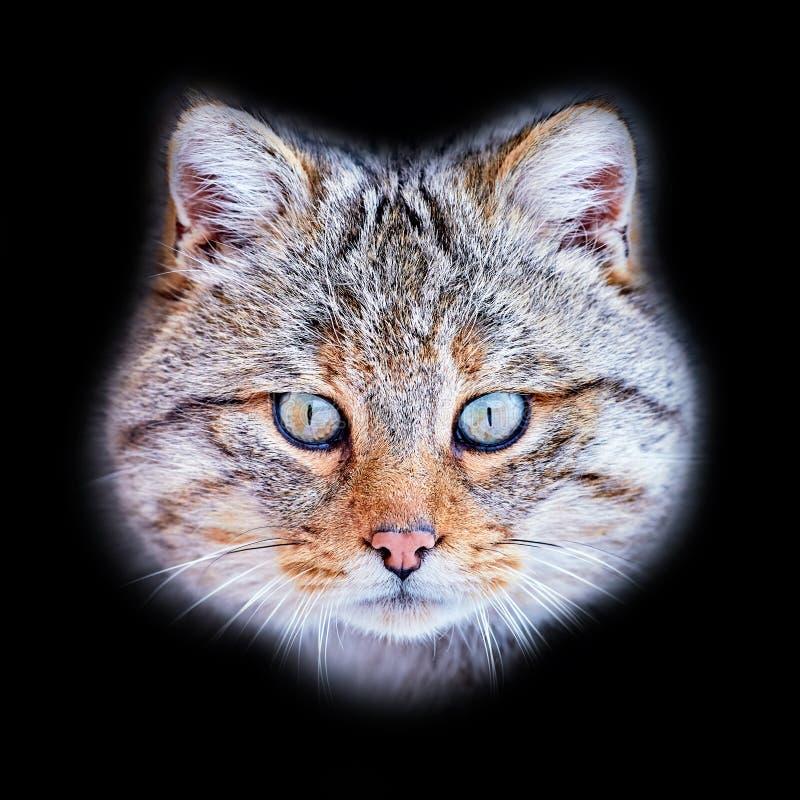 Silvestris selvaggi europei del Felis in habitat naturale fotografie stock