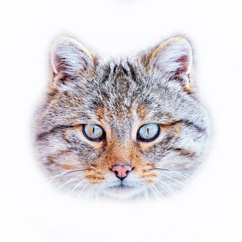 Silvestris selvaggi europei del Felis in habitat naturale immagini stock