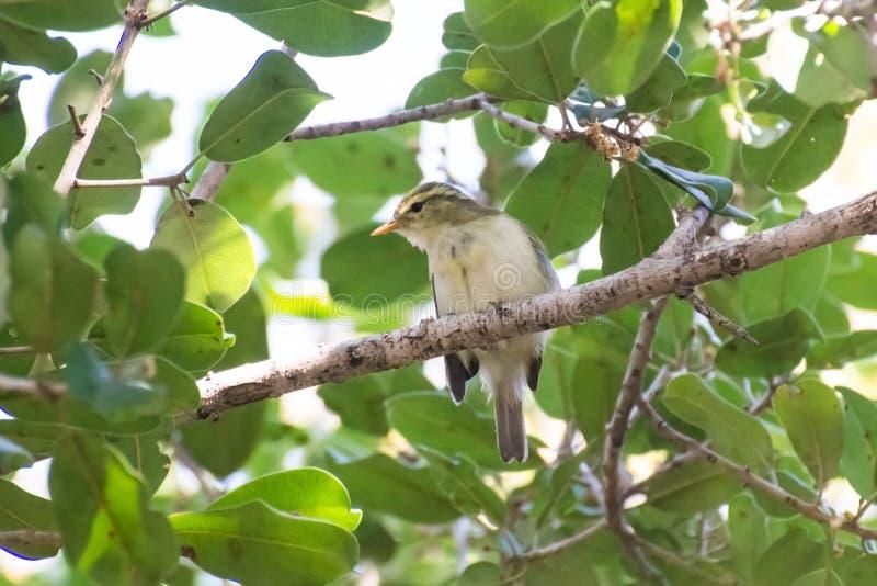 Silvia verdastra sull'albero verde fotografia stock