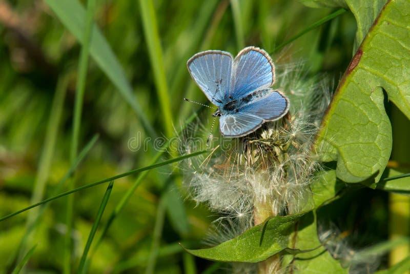 Silvrig blå fjäril arkivbilder
