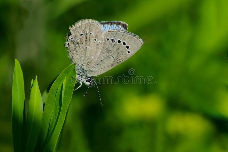 Silvrig blå fjäril fotografering för bildbyråer