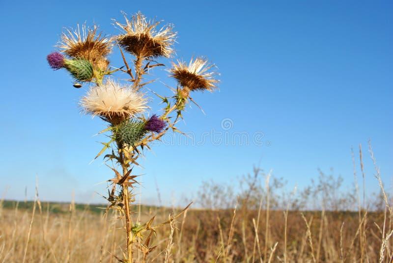 Silybum marianum cardus marianus, Mariendistel, segnete milkthistle, marianische Distel, Mary-Distel oder trockene Blumen der sch stockfoto