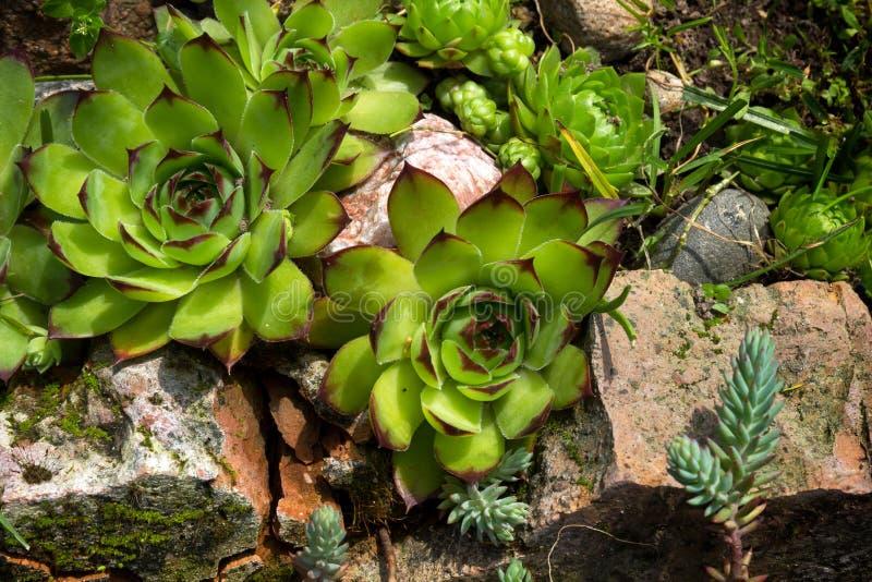 Sim-verde ou houseleek Sempervivum em um jardim de rocha imagens de stock royalty free