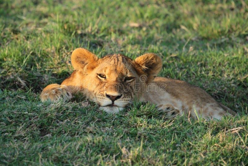 Simba Młody Afrykański lew zdjęcia stock