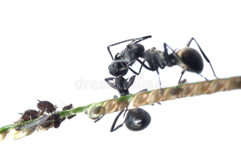 Simbiosi dell'afide e della formica immagine stock libera da diritti