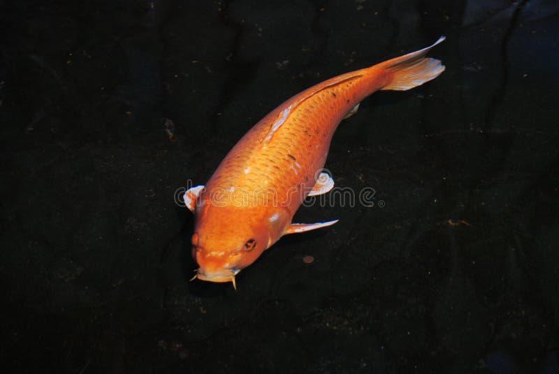 Simbolo di fortuna, di prosperità e di fortuna - koi arancio luminoso - giardini e stagni acquatici fotografia stock