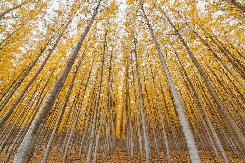 Simetría de la plantación maderera del álamo en Oregon foto de archivo