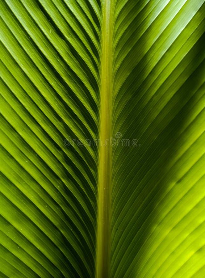 Simetria na natureza, folha de palmeira textured fotografia de stock royalty free