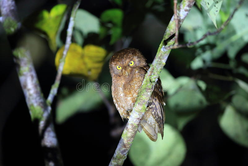 Download Simeulue-Zwergohreule stockbild. Bild von insel, indonesisch - 96929723