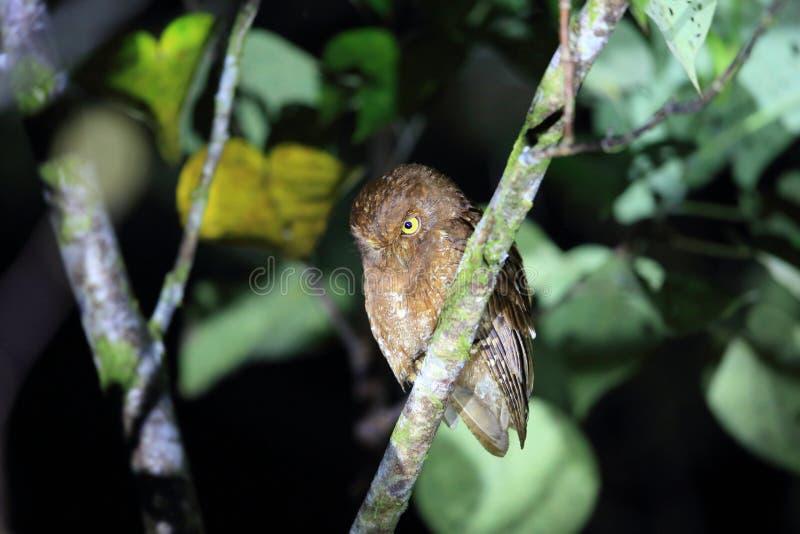 Download Simeulue-Zwergohreule stockfoto. Bild von endemisch, indonesien - 96929866