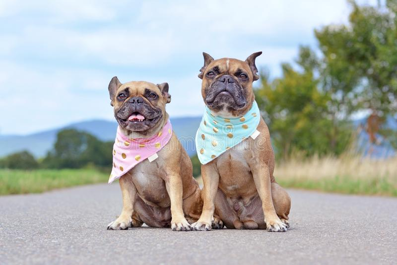 Similar looking brown French Bulldogs sitting next to eacth other wearing matching baby blue and baby pink neckerchiefs stock image
