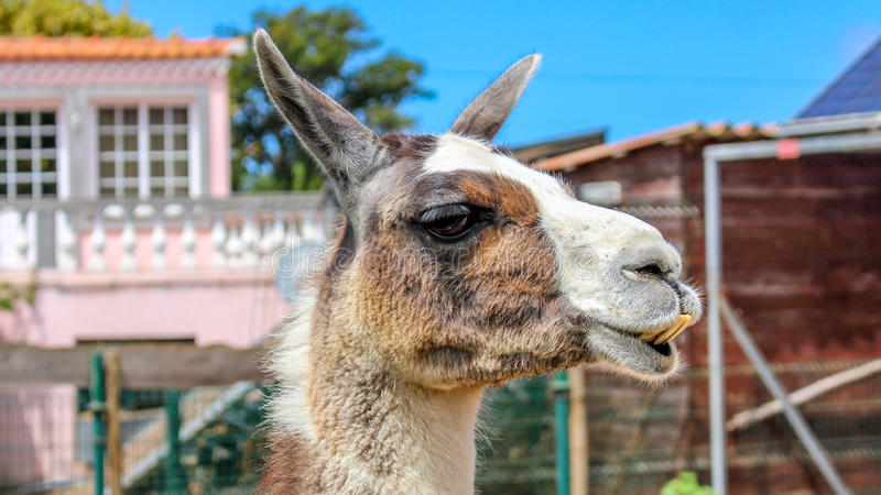 Similing Lama stock image