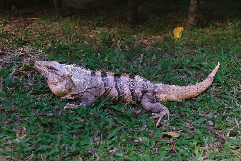 Similis de Ctenosaura l'iguane épineux noir de queue photos libres de droits