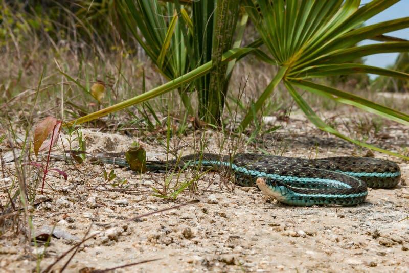 Similis di sirtalis del Thamnophis del serpente di giarrettiera di Bluestripe immagine stock libera da diritti