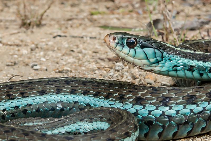 Similis di sirtalis del Thamnophis del serpente di giarrettiera di Bluestripe fotografia stock