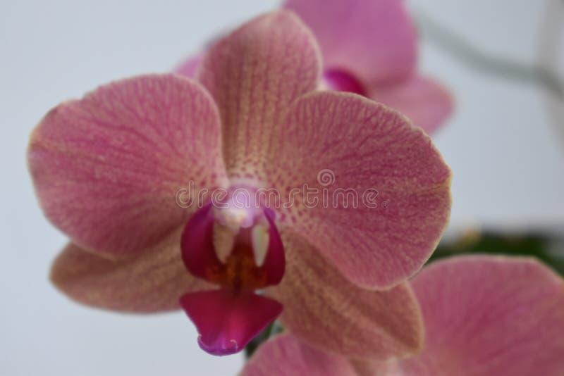 Simly piękna różowa orchidea na szarym tle obraz stock