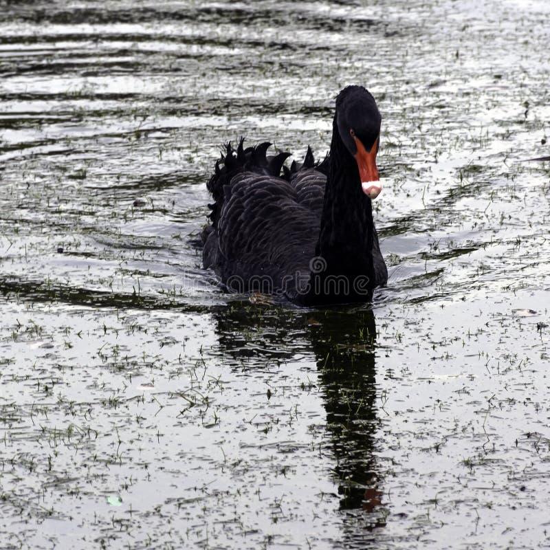 Simma den svarta svanen på den Claremont landskapträdgården, Surrey, UK royaltyfria foton
