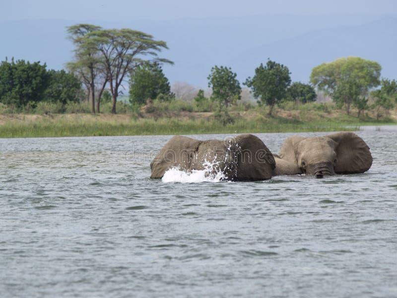 simma för elefanter royaltyfria foton