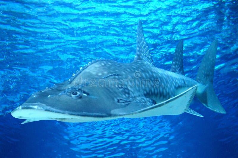 Simma för Ray fisk som är undervattens- - sidosikt arkivfoton