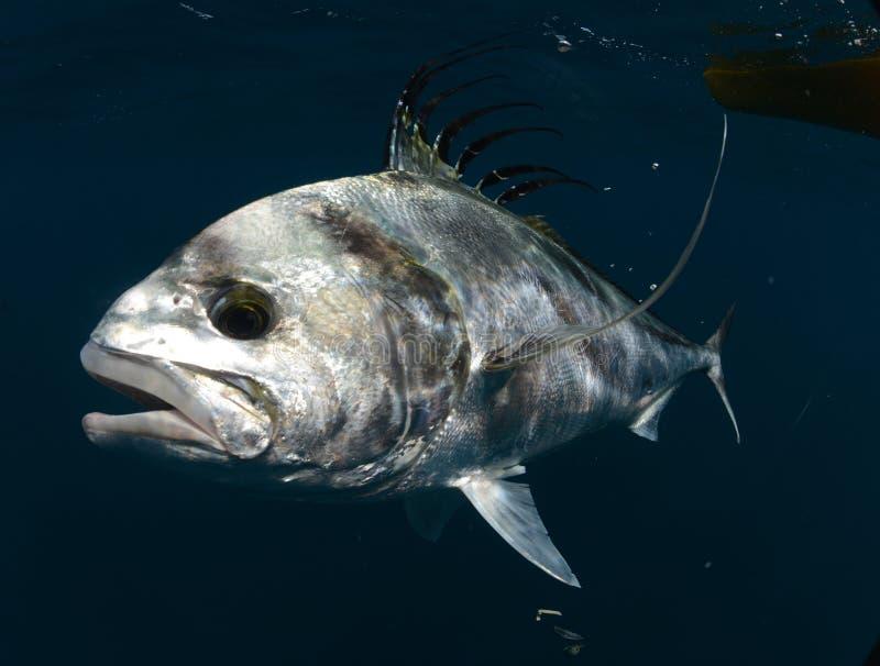 Simma för Roosterfish som är undervattens- i varmt vatten royaltyfria bilder