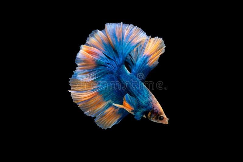 Simma handling av Betta, Siamese stridighetfisk royaltyfri foto