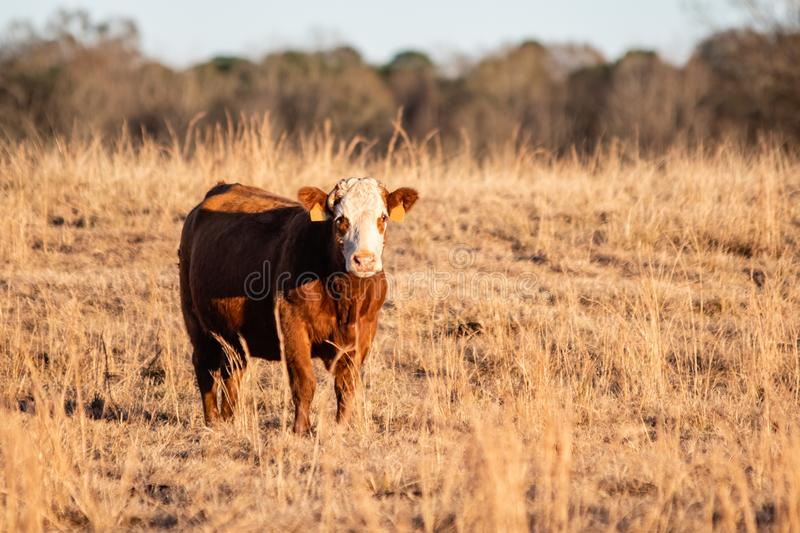 Simmental crossbred cow at golden hour. Simmental crossbred cow standing to the left in a dormant pasture during golden hour stock photos