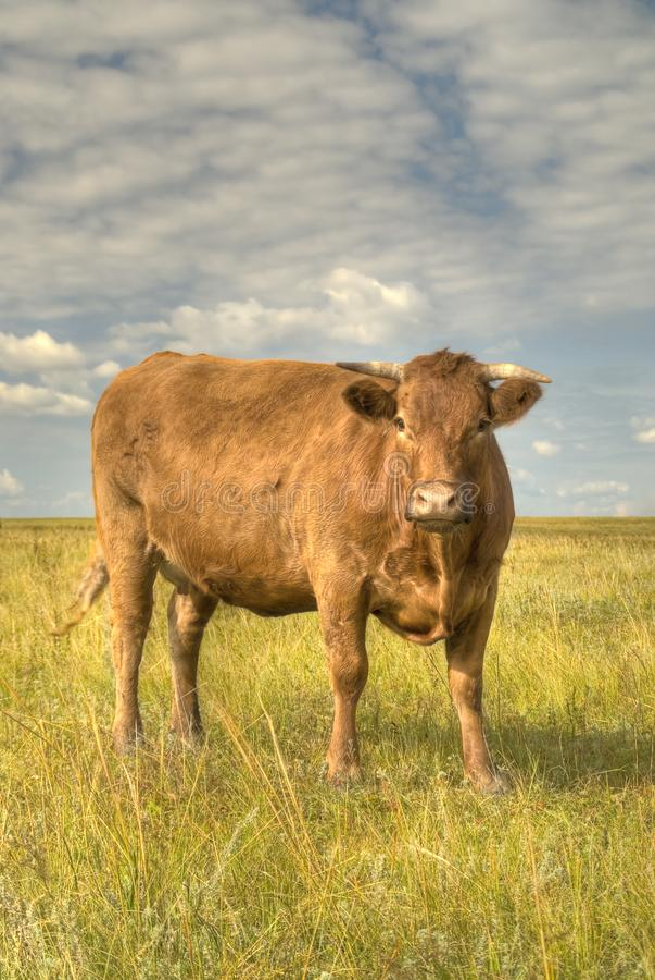 Simmental krowa obrazy stock