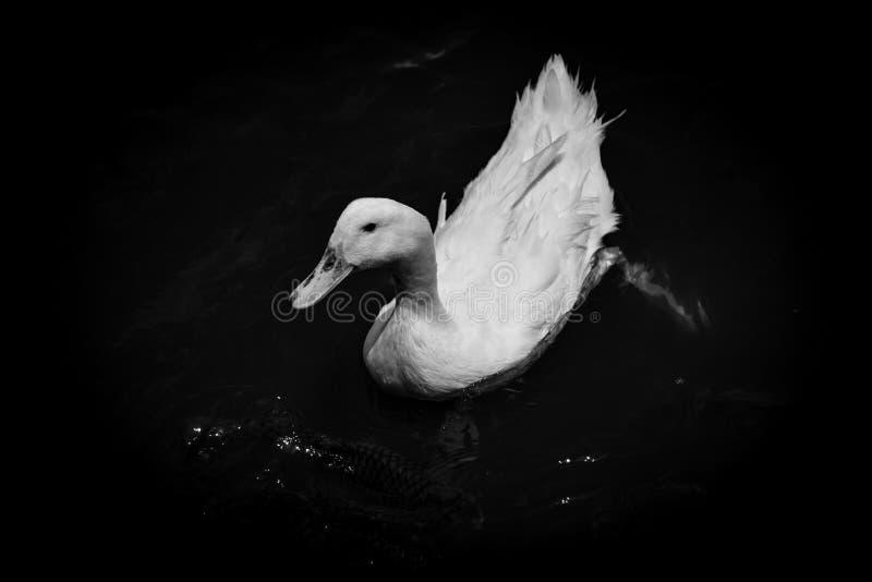 Simning Duck Monochrome royaltyfri bild