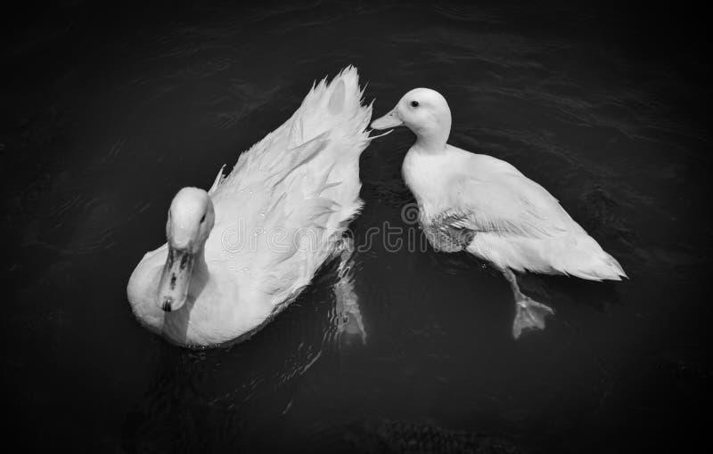 Simning Duck Monochrome royaltyfria foton