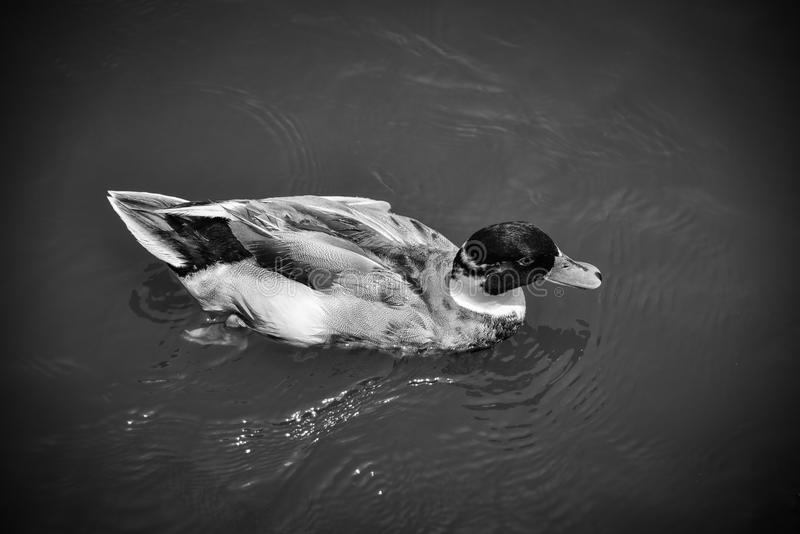 Simning Duck Monochrome fotografering för bildbyråer
