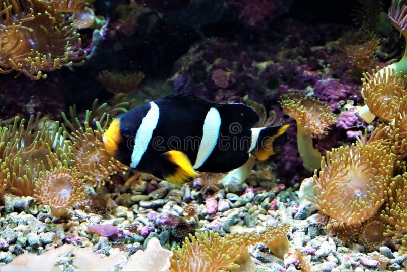 Simning för anemonefish för Clark ` s i en korallrev arkivfoto