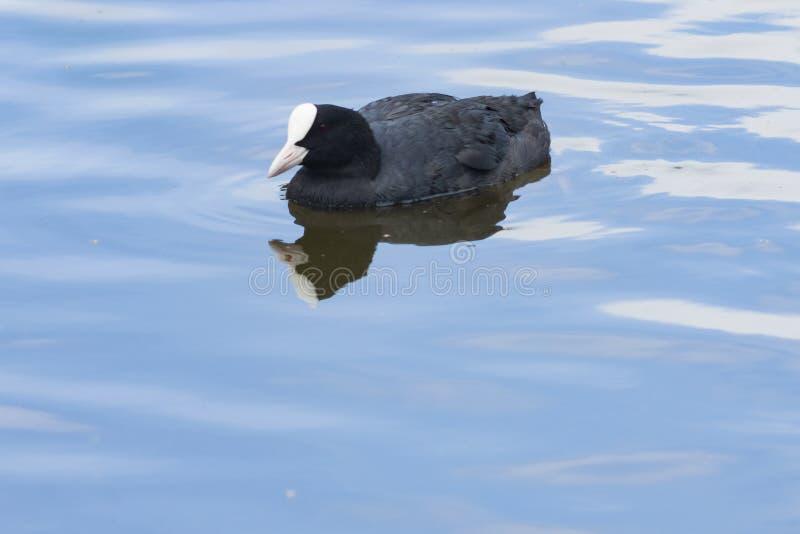 Simning för atra för EurasiansothönaFulica i dammnärbildståenden, selektiv fokus, grund DOF royaltyfria foton