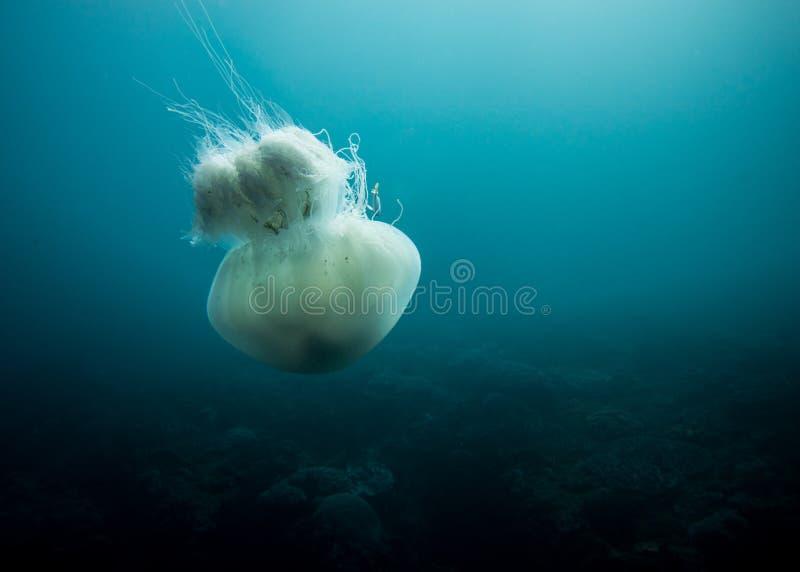 Simning för geléfisk i det djupblått arkivfoto