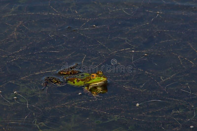 Simning för grön groda i dammet - Anura royaltyfri fotografi