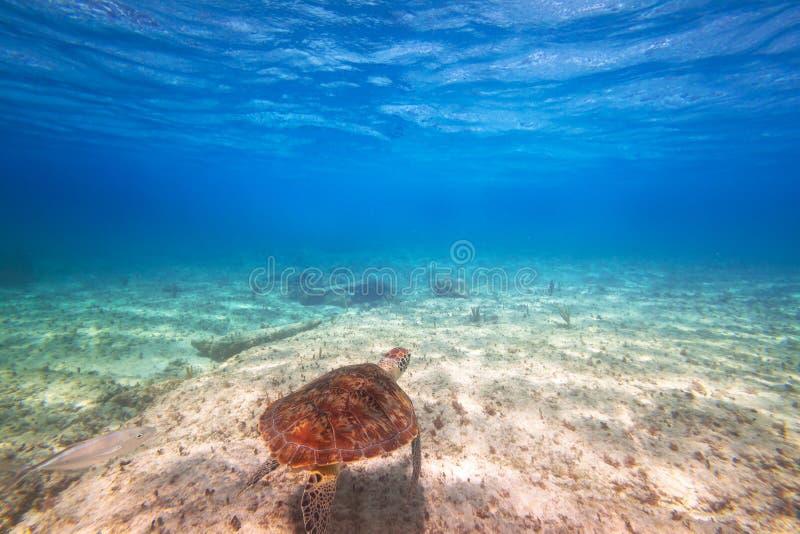 Simning för grön sköldpadda i det karibiska havet royaltyfri fotografi