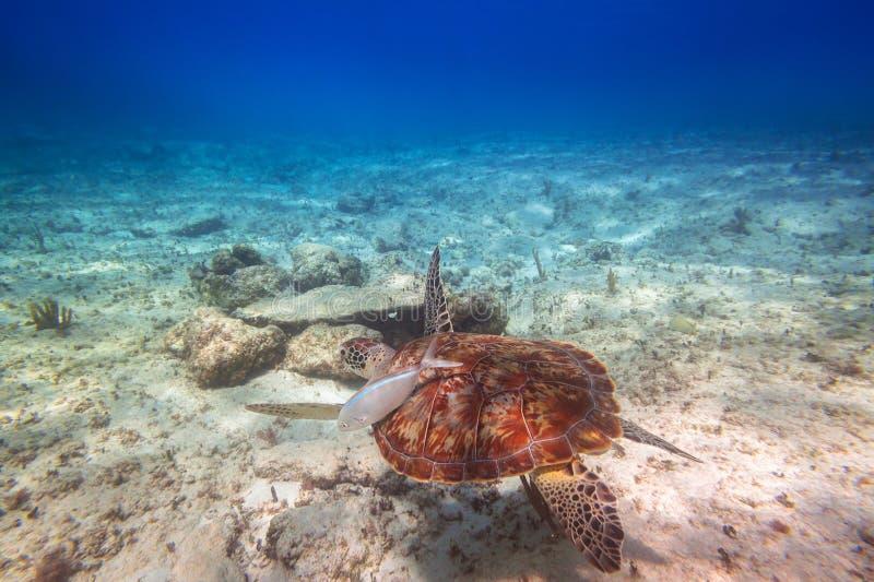 Simning för grön sköldpadda i det karibiska havet arkivfoton