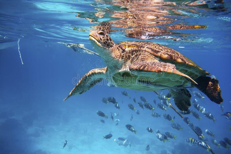 Simning för grön sköldpadda i ett blått hav arkivfoto