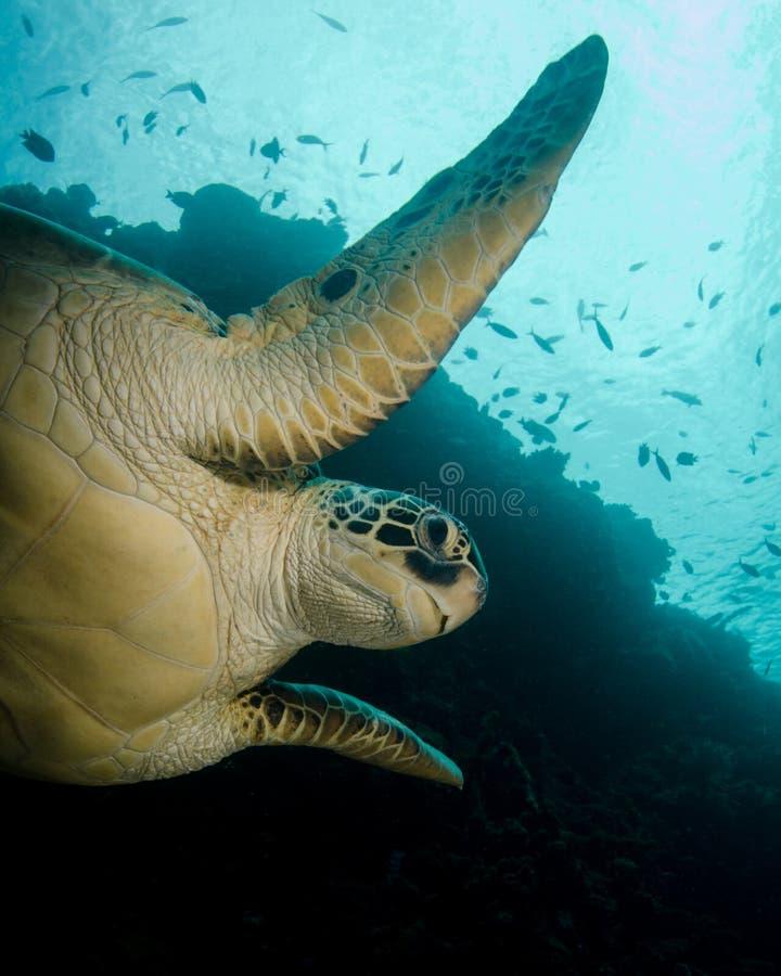 Simning för grön sköldpadda i norr Sulawesi, Indonesien royaltyfri fotografi