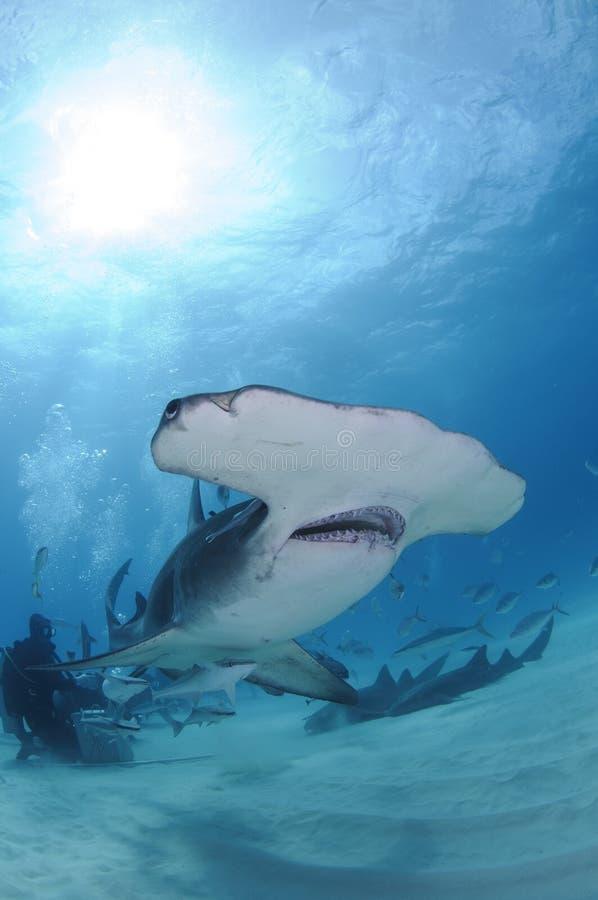 Simning för Hammerheadhaj bland dykare i öppet vatten i Bahamas arkivbilder
