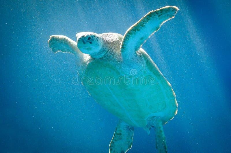 Simning för havssköldpadda i Curacao arkivfoton