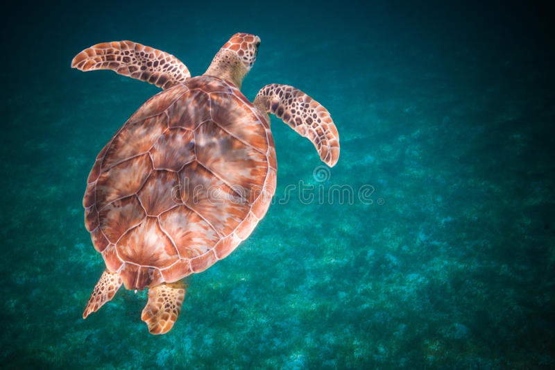 Simning för havssköldpadda i hamn av St John, Jungfruöarna arkivbild
