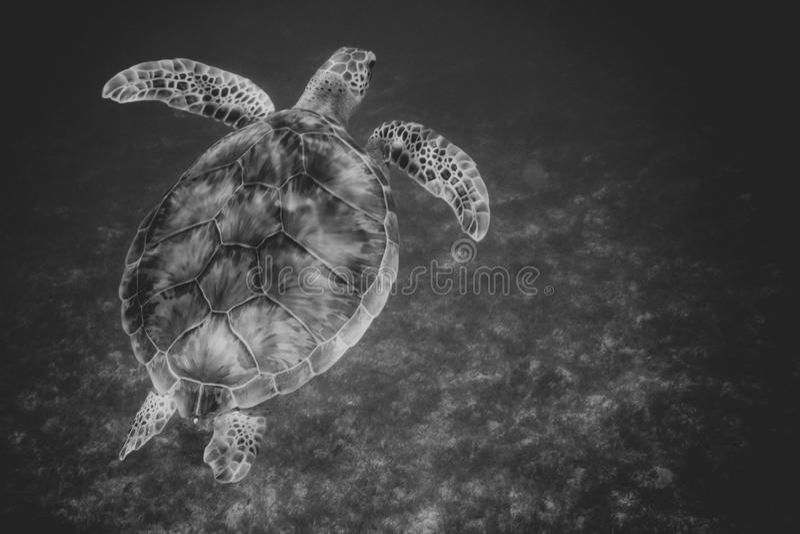 Simning för havssköldpadda i hamn av St John, Jungfruöarna svärtar arkivfoton