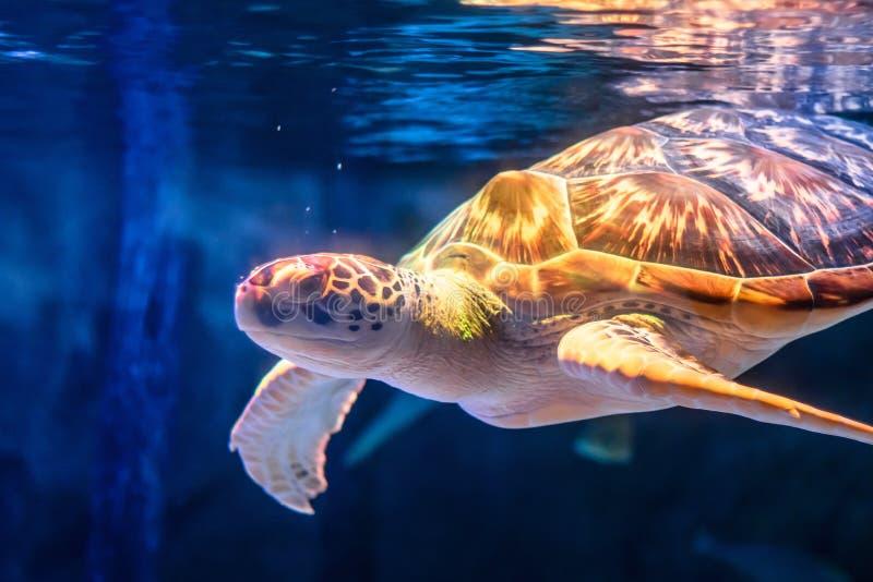 Simning för havssköldpadda i undervattens- bakgrund Sköldpadda i havsbakgrund arkivbild