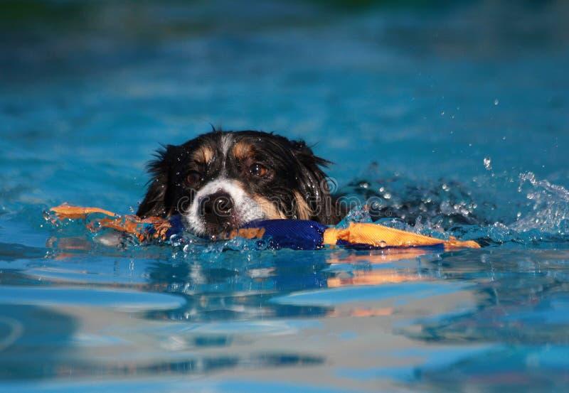 Simning för hund för kantCollie med hans toy fotografering för bildbyråer