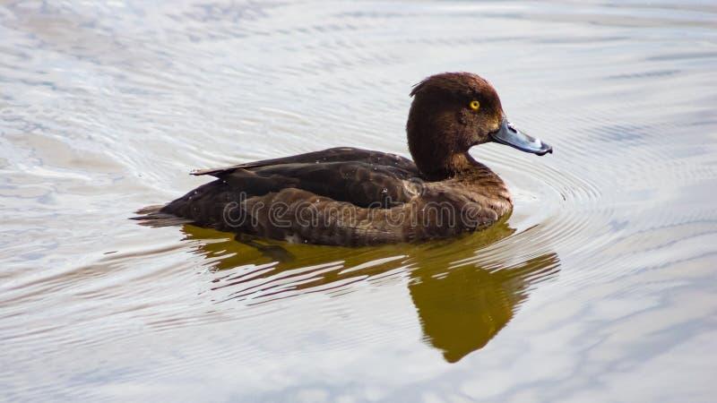 Simning för kvinnlig Tufted and- eller Aythyafuligula i dammet, närbildstående med reflexionen, selektiv fokus, grund DOF arkivfoton