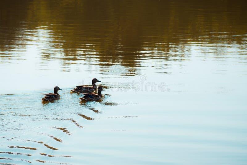 Simning för lös and i dammet royaltyfri bild