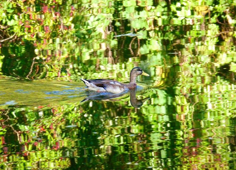 Simning för lös and i vattnet fotografering för bildbyråer