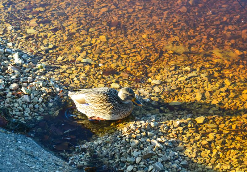 Simning för lös and på flodyttersida i solnedgångljus Vårlandskap i Östeuropa royaltyfri fotografi